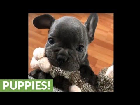 cucciolo-di-bulldog-francese-che-vuole-salire-sul-divano