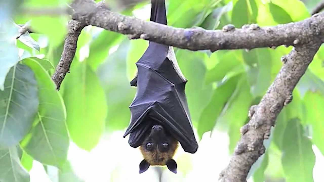 no bats are truly blind flying foxes like this guy navigate
