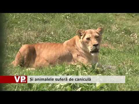 Și animalele suferă de caniculă