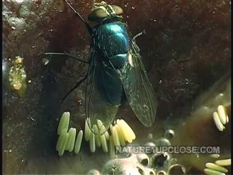 Life cycle of the fly, flies laying egg, eggs hatching
