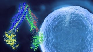 Thumbnail of Dancing Proteins: Cell Membrane Transporter Motion May Revolutionize Drug Therapies video