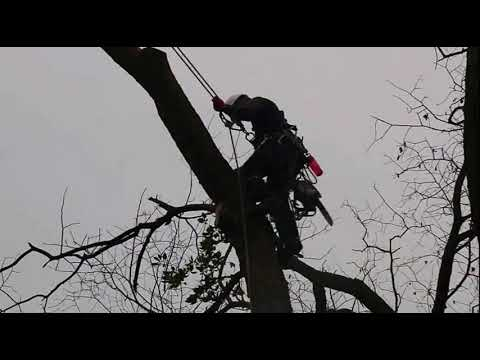Arborist & tree surgeon Tree Removal of a dying Elm(short version)