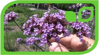 Verbena bonariensis - das patagonische Eisenkraut