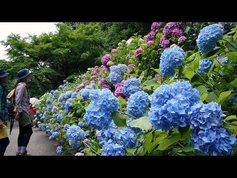 梅雨にしっとり 神戸市立森林植物園でアジサイ見ごろ