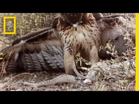 Red-Tailed Hawk vs. Rattler