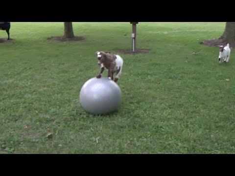 Pieni vuohi yrittää pysytellä jumppapallon päällä – vaikeaa on!