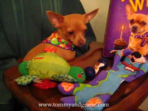 TOMMY THE CHIHUAHUA ~ 2nd Birthday