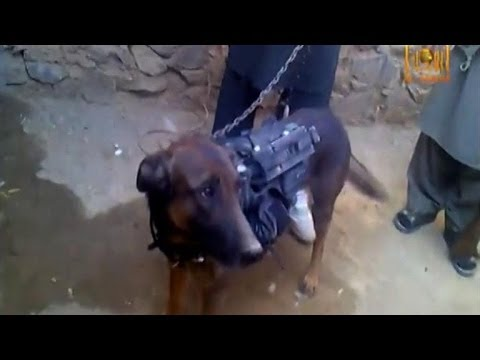 ฮือฮา ! กลุ่มตาลีบัน จับ สุนัขนาโต เป็นตัวประกัน!!! (ชมคลิป)