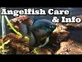 Angelfish Care  Information Freshwater Angelfish waptubes