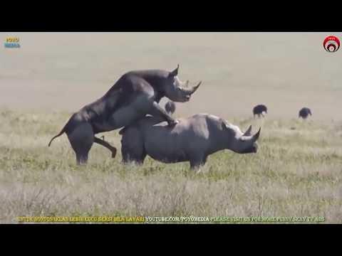 Video Bersetubuh Seperti Badak Sumbu | Rare Rhinos Mating | Apareamiento de Rinoceronte | राइनो संभोग download in MP3, 3GP, MP4, WEBM, AVI, FLV January 2017