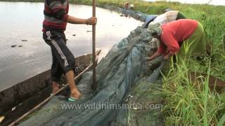 People sorting the fish from the net and method they use is gill net. Gill netting is the most common method used by the people at Loktak Lake in Manipur. Loktak ...