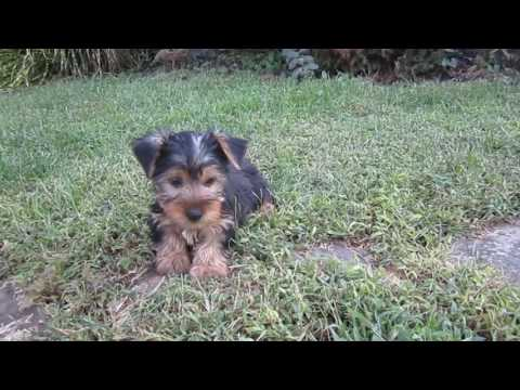 Biancas Boy 2 Yorkie Puppy