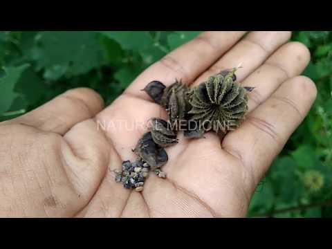 వజ్రం లాంటి దేహాన్ని అందించి వందలాది రోగాలు అంత మొందించే మొక్క(Abutilon indicum Benefits)