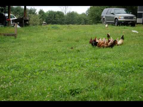 kvertrees - Chickens being grained outside of the coop. Amber chases duck and stick. Motion of the flock.