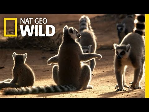 For Ring Tailed Lemurs, the Ladies Rule | Wild Love