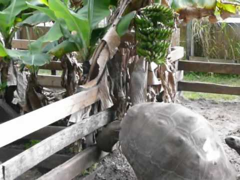 gigantea - Giant Aldabra Tortoise climbing a fence to reach Bananas Geochelone gigantea http://www.FloridaIguana.com.