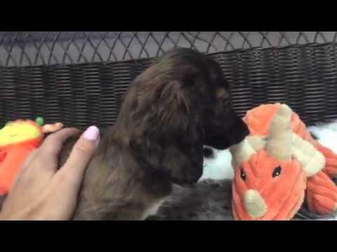 Cuddly female puppy Dachshund