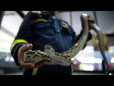 Bangkoks Feuerwehr immer häufiger als Schlagenfänger gerufen