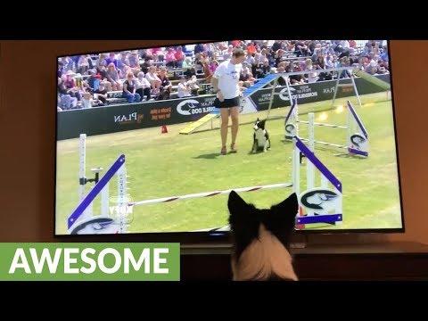 Koira katselee itseään telkkarista – Haluis päästä juokseen