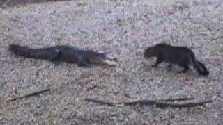 Video Now Who's The Scaredy Cat? | Alligator vs. Housecat MP3, 3GP, MP4, WEBM, AVI, FLV Oktober 2017