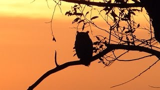 """bukaymedia.com These Great Horned Owls watch helicopters, planes, and other flying objects at sunset. Sometimes I wonder if they enjoy sunsets for their beauty, or if they are just anticipating the night out. What do you think?These owls were filmed at Miller Knox Regional Park in Richmond, Ca. overlooking the San Francisco Bay Trail. For a video of """"Adolescent Owl Holding Hands before a Night Out"""" go to https://www.youtube.com/watch?v=VxhB2fBtpqU"""