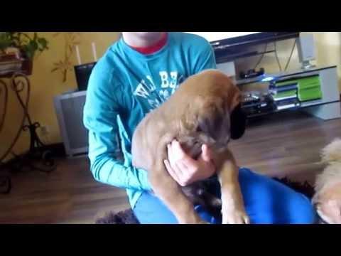 MastineuM FCI Specjalistyczna Hodowla Mastifa -