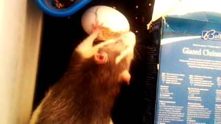 Per Rats Eating Boiled Egg