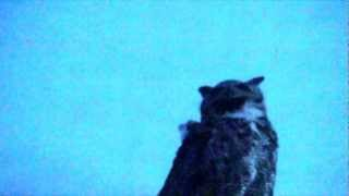 An owl who likes to sit on top of our swamp cooler.  Usually he comes early in the morning when it is still dark. A few days ago he came at sunset.  Maybe he is looking for a mate as he sure can't see any prey fro where he is perched. We can see him from the skylight in the bathroom.