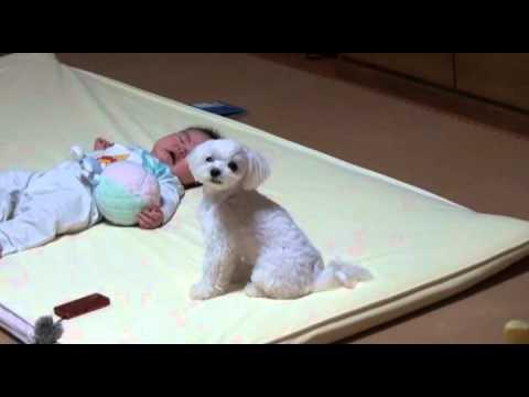 小寶寶一直在哭鬧就連父母都無法搞定,家裡的毛小孩卻神來一招讓寶寶完全安靜下來!