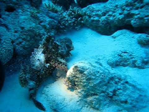 Рыба-камень: остаться незамеченной