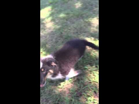 AKC Shetland Sheepdog tri colored male