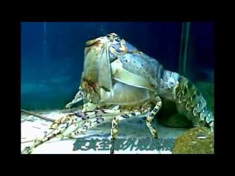 「龍蝦脫殼全過程」,真的太神奇了!
