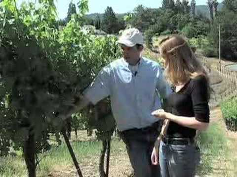 Vine Canopy Management - Sonoma County Winegrape