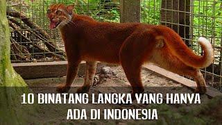 Download Video BANGGA! 10 Binatang Langka yang Hanya Ada di Indonesia MP3 3GP MP4