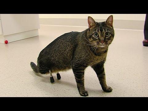 Anteprima Video Vincent, il gatto con le protesi alle gambe