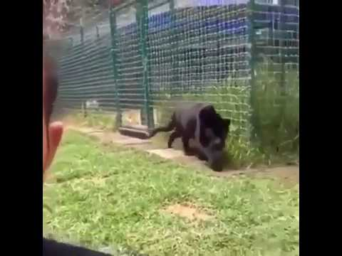 Video Black Panther Sneak Up On A Guy download in MP3, 3GP, MP4, WEBM, AVI, FLV January 2017
