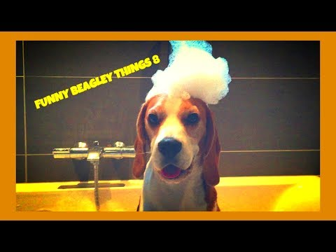 "funny ""beagley"" things! why you should get a beagle dog!"