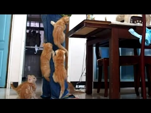 Gatos escaladores