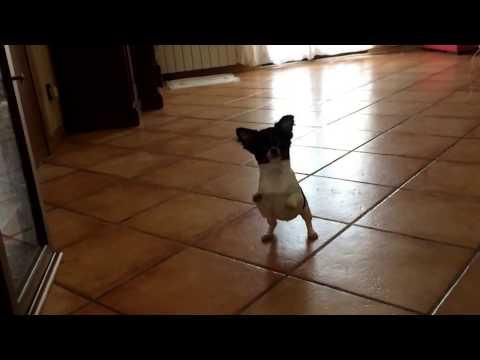 Chihuahua – Funny videos