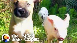 This Piglet-Puppy Family's Daily Routine Is Too Perfect To Be True | The Dodo Odd Couples by The Dodo