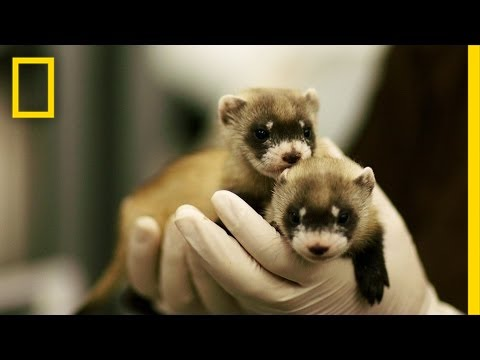 North America's rarest mammal is returning to the prairie!