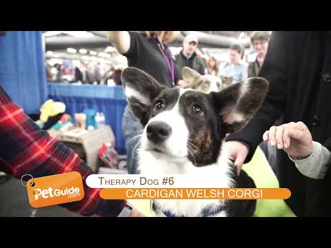 Top 10 Best Therapy Dog Breeds