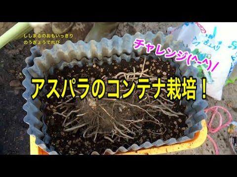 【家庭菜園】アスパラのコンテナ栽培にチャレンジ!
