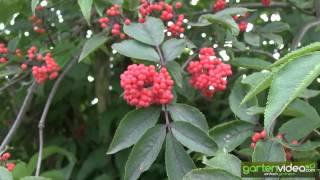 #1220 Roter Holunder - roter Traubenholunder Anna