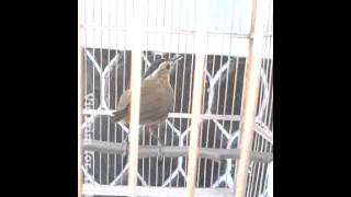 Burung pelatuk topi hitam