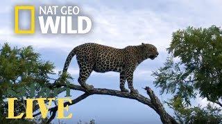 Safari Live - Day 116 | Nat Geo Wild by Nat Geo WILD