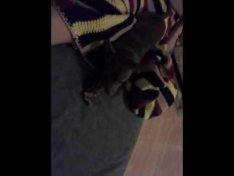 Chihuahua eating a Deer Antler