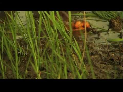 Subsistence - A short documentary about subsistence farming in Have, Ghana, as part of the Have Film Club project.