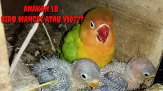 Video Induk Lovebird pasjo Anakan Pas Vio dan Biru Mangsi @Please Subscribe Channel ini@ MP3, 3GP, MP4, WEBM, AVI, FLV November 2018