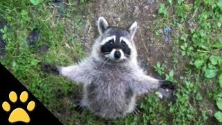 Raccoons Are Awesome